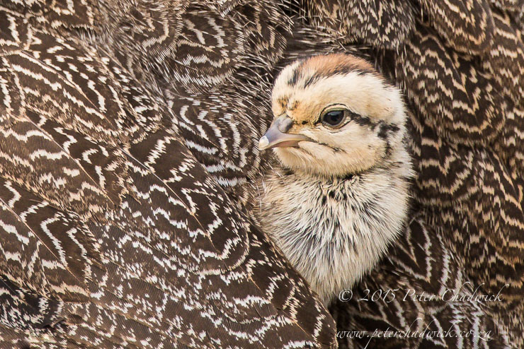 Cape Spurfowl chick_© peter chadwick _African Conservation Photography
