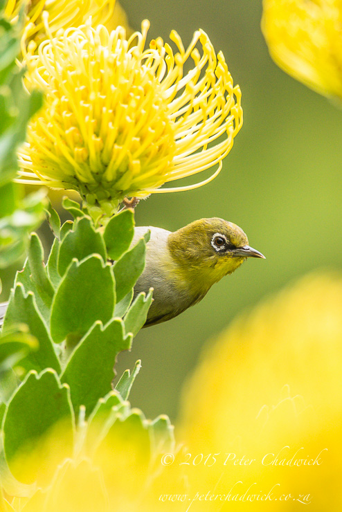 Cape White-Eye_© peter chadwick_African Conservation Photography