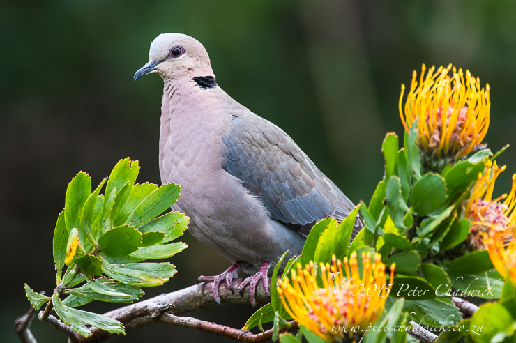 Red-eyed Dove_©peter chadwick_African Conservation Photography