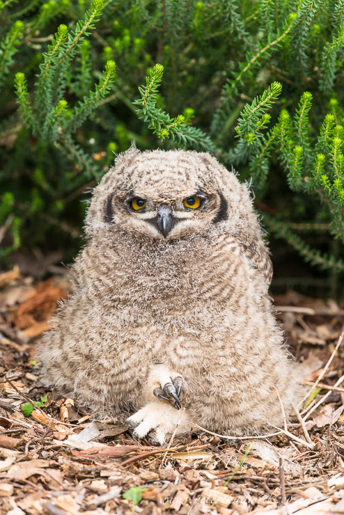Spotted Eagle Owl chick_©peter chadwick_African Conservation Photography