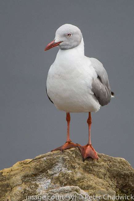grey headed gull adult at roost by wildlife and conservation photographer peter chadwick