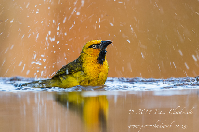 Spectacled Weaver bathing by wildlife and conservation photographer Peter Chadwick