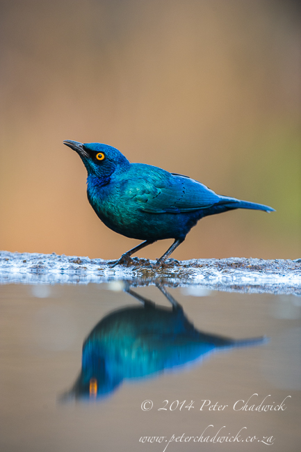 Cape Glossy Starling drinking by wildlife and conservation photographer Peter Chadwick