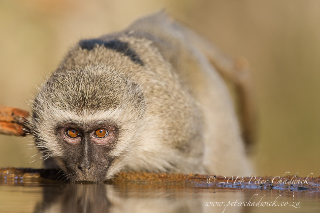 Vervet monkey drinking by wildlife and conservation photographer Peter Chadwick