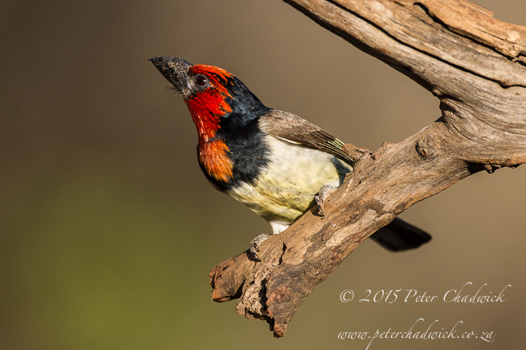 Black-Collared Barbet_PeterChadwick_AfricanConservationPhotographer
