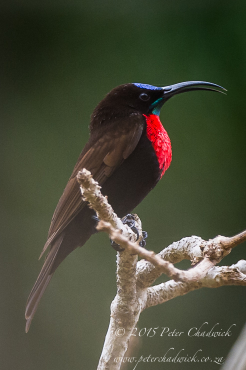 Scarlet-Chested Sunbird_PeterChadwick_AfricanConservationPhotographer