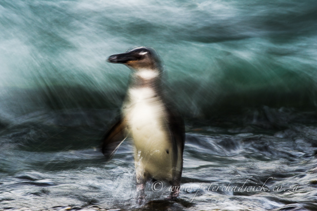Juvenile African Penguin at dusk by wildlife and conservation photographer Peter Chadwick