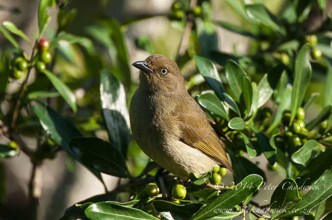 Sombre greenbul by wildlife and conservation photographer Peter Chadwick