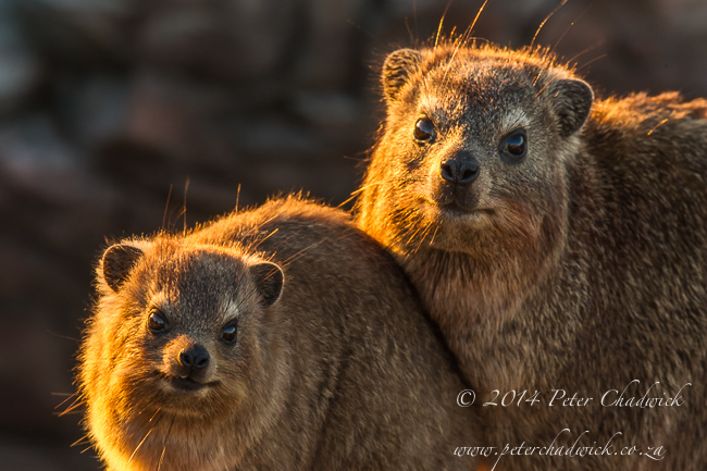 Sunning Rock hyrax pair by wildlife and conservation photographer Peter Chadwick