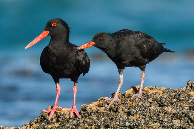 African black oystercatcher adult and chick by wildlife and conservation photographer Peter Chadwick