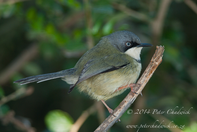 Bar-throated apalis by wildlife and conservation photographer Peter Chadwick