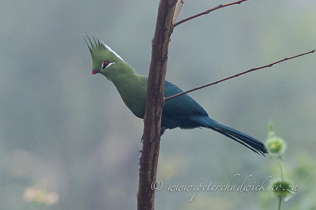livingstones turaco by wildlife and conservation photographer Peter Chadwick