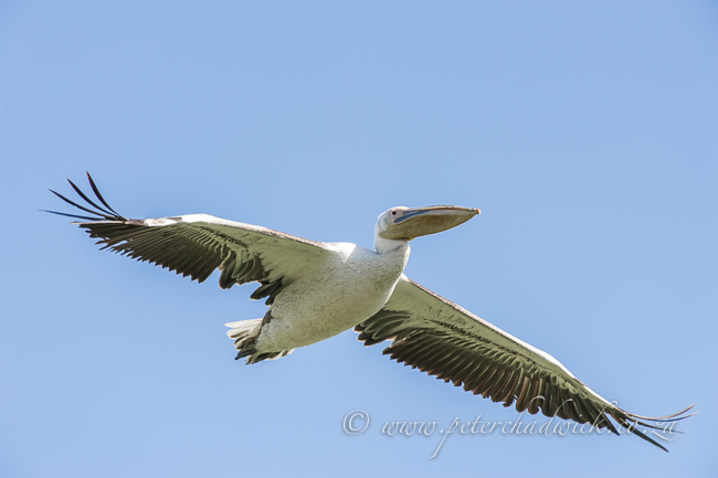 great white pelican in flight by wildlife and conservation photographer Peter Chadwick