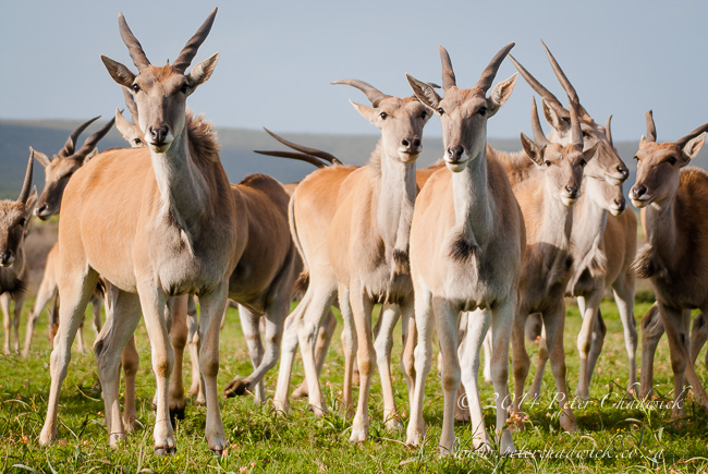 Eland herd in the grassland by Wildlife and conservation photographer Peter Chadwick