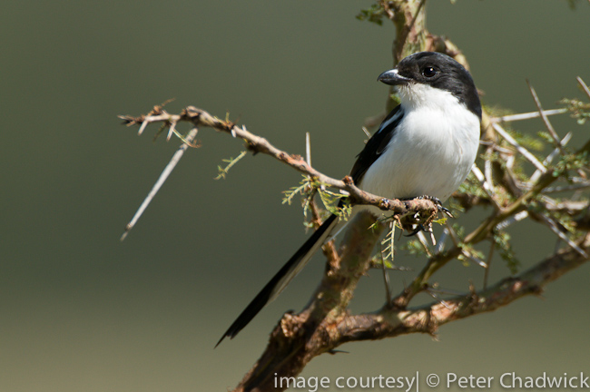fiscal shrike by wildlife and conservation photographer peter chadwick