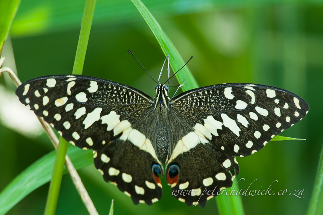 Citrus swallowtail by wildlife and conservation photographer peter chadwick