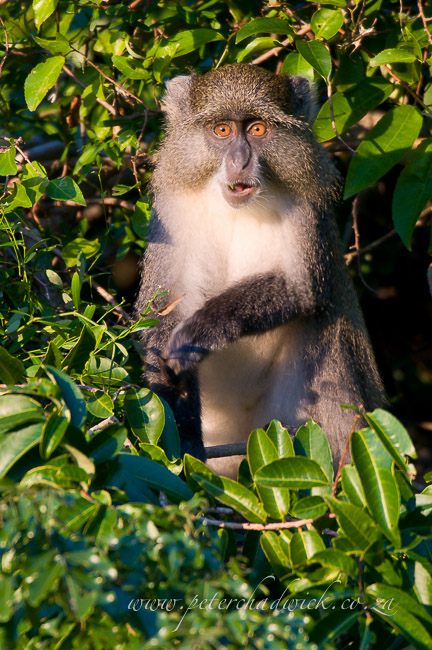 samango monkey by wildlife and conservation photographer peter chadwick