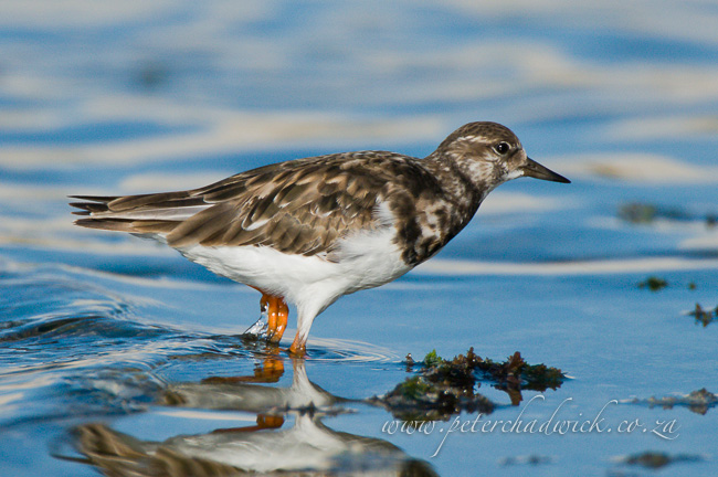 Ruddy Turnstone wildlife and conservation photographer peter chadwick