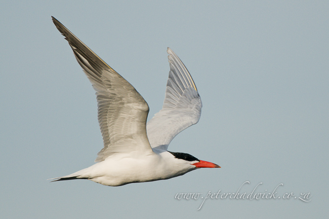 Caspian Tern wildlife and conservation photographer peter chadwick