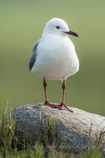 hartlaubs gull wildlife and conservation photographer peter chadwick