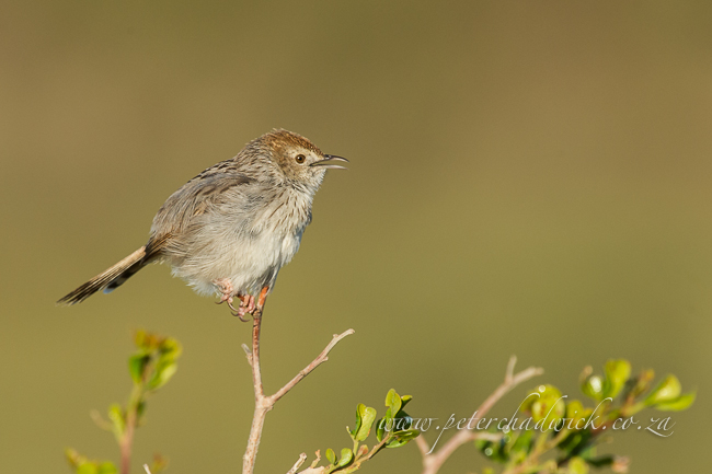 grey backed cisticola wildlife and conservation photographer peter chadwick