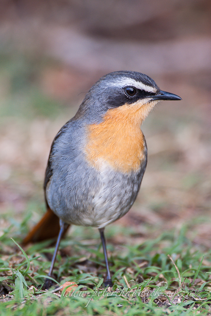 cape robin chat wildlife and conservation photographer peter chadwick