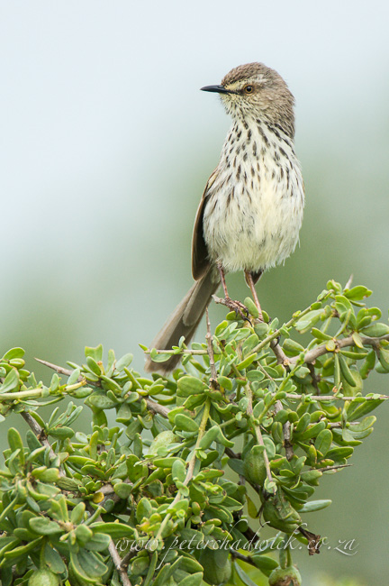Karoo prinia wildlife and conservation photographer peter chadwick