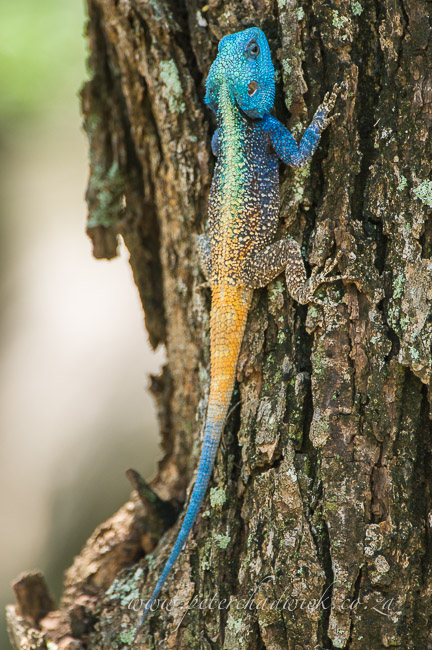 tree agama by wildlife and conservation photographer peter chadwick