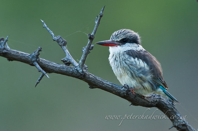 striped kingfisher by wildlife and conservation photographer peter chadwick