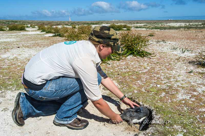 releasing a satelitte tagged african penguin back into its burrow by wildlife and conservation photographer Peter Chadwick