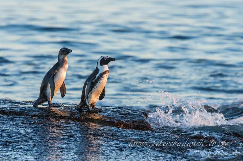 Adult and juvenile African Penguin by wildlife and conservation photographer Peter Chadwick0015029