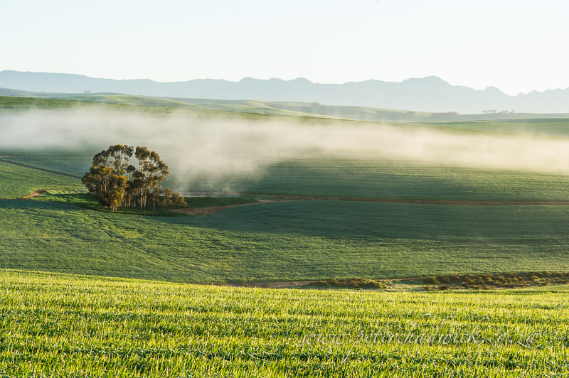morning mist hangs over wheat fields of the overberg by wildlife and conservation photographer Peter Chadwick