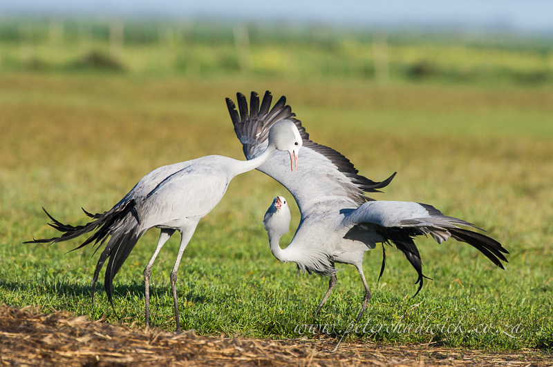displaying blue cranes by wildlife and conservation photographer Peter Chadwick