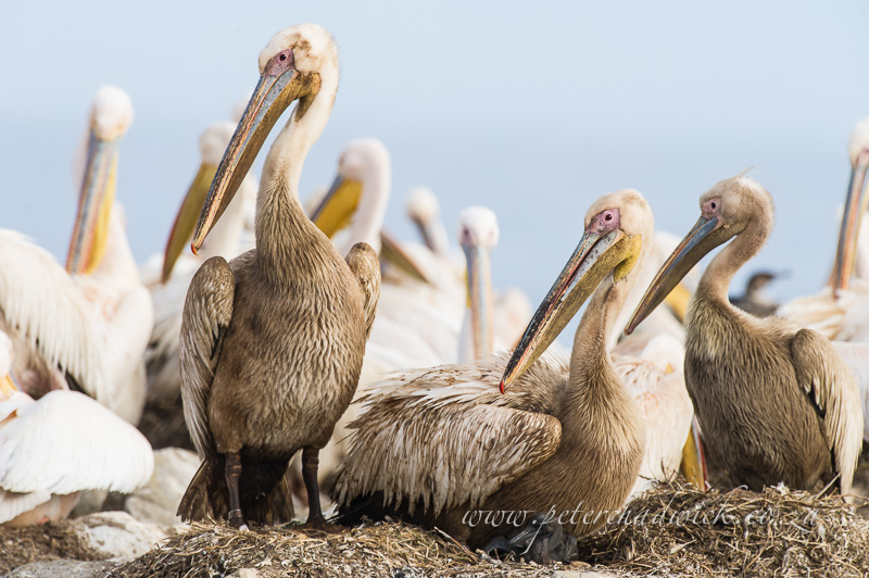 nesting great white pelicans by wildlife and conservation photographer Peter Chadwick
