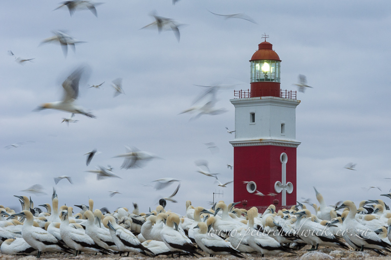 Cape Gannets at Bird Island by wildlife and conservation photographer Peter Chadwick