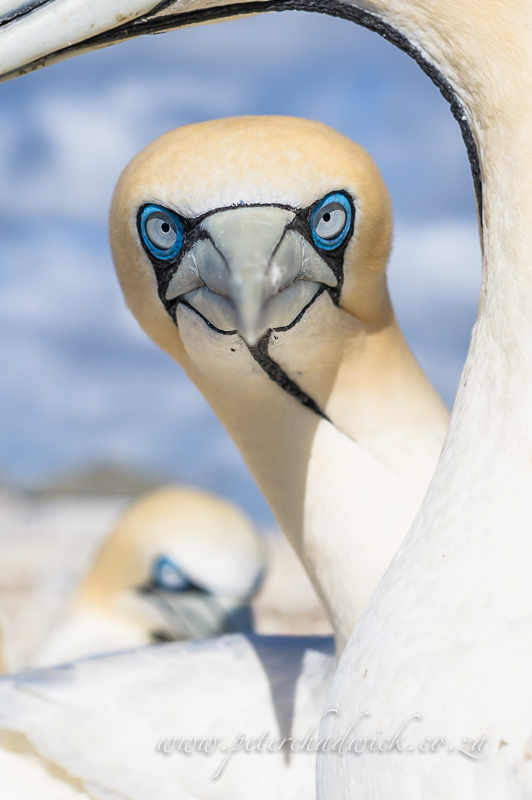 staring cape gannet by wildlife and conservation photographer Peter Chadwick