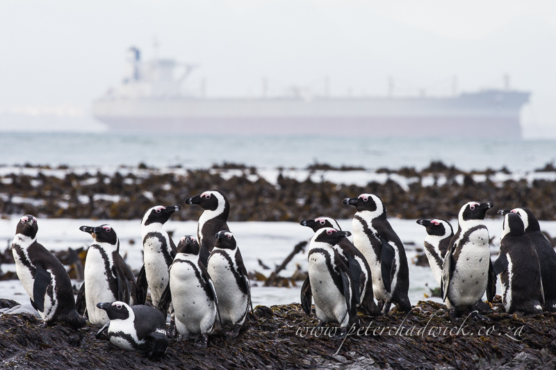 african penguins and ore tanker by wildlife and conservation photographer Peter Chadwick