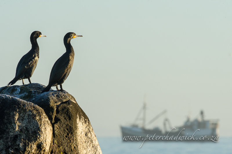 cape cormorants and fishing trawler by wildlife and conservation photographer Peter Chadwick