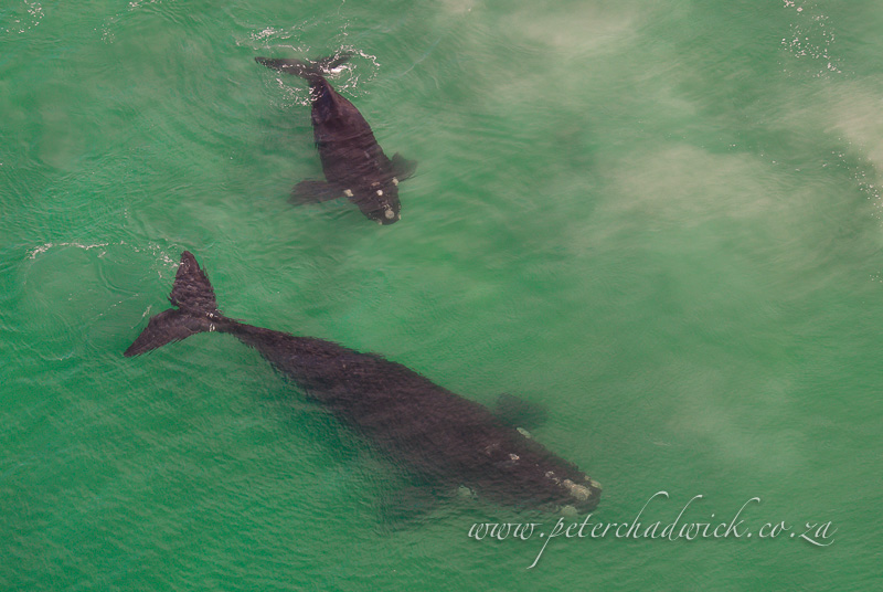 southern right whale mother and calf in the shallows by wildlife and conservation photographer Peter Chadwick