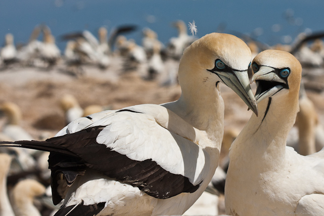 Cape Gannet | Malgas Island | Cape West Coast