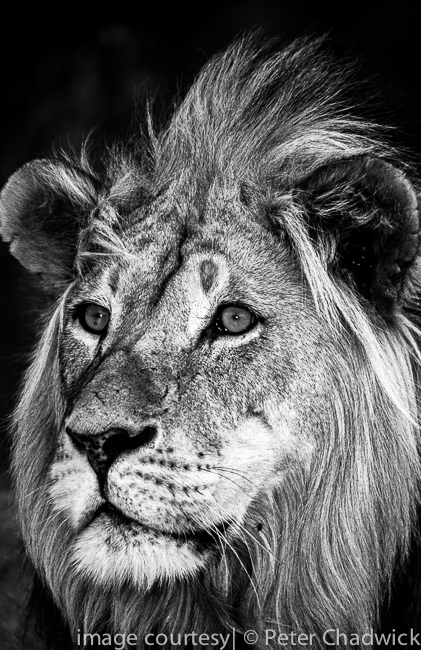 This portrait of a male lion was photographed using fugi provia film and which was then converted into black white using lightroom 4