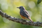Miombo Rock Thrush by wildlife and conservation photographer Peter Chadwick.