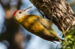Olive woodpecker by wildlife and conservation photographer Peter Chadwick.jpg
