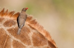 Red billed oxpecker on giraffe by wildlife and conservation photographer Peter Chadwick.jpg