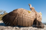 Cape Vulture_©PeterChadwick_AfricanConservationPhotographer.jpg