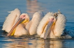 Great white pelicans bathing by wildlife and conservation photographer Peter Chadwick.jpg