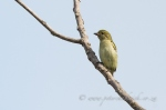 green tinkerbird by wildlife and conservation photographer Peter Chadwick.jpg