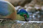 Purple creasted turaco drinking by wildlife and conservation photographer Peter Chadwick.jpg
