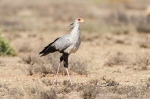 secretary bird by wildlife and conservation photographer Peter Chadwick.jpg