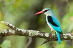 Woodland Kingfisher by wildlife and conservation photographer Peter Chadwick.